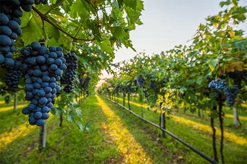 Wine Grapevine Image